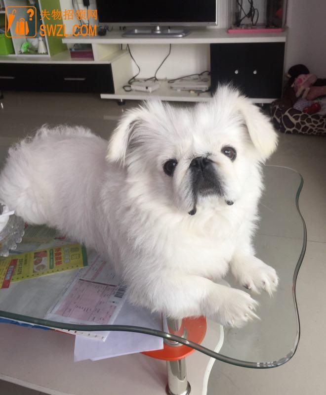 寻物启事: 走失宠物狗白色京巴狗一只