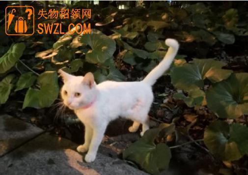 失物招领:捡到一只白色的猫