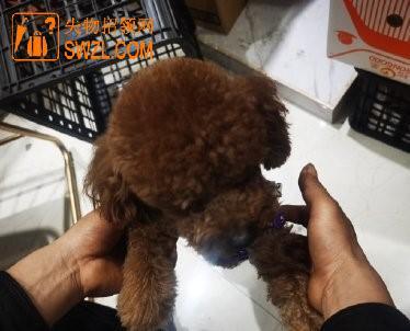 失物招领:台州热心网友在捡到一只小泰迪
