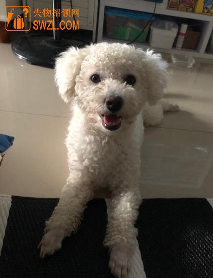 失物招领:深圳市罗湖区布心地铁站附近拾到一条小白狗