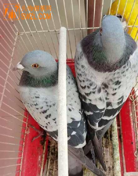 好心人捡了2只信鸽,脚脖 有编号,谁家鸽子丢了?请联系_失物招领网