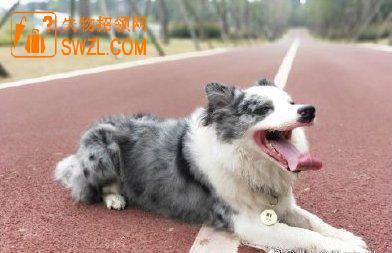 寻物启事: 成都三圣乡附近寻找爱犬边牧秋秋